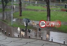 Sokak Köpekleri, Tehlike Saçıyor